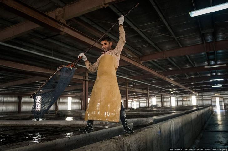 Производство черной икры в Саудовской Аравии